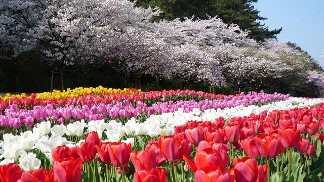 はままつフラワーパーク 桜とチューリップの庭園