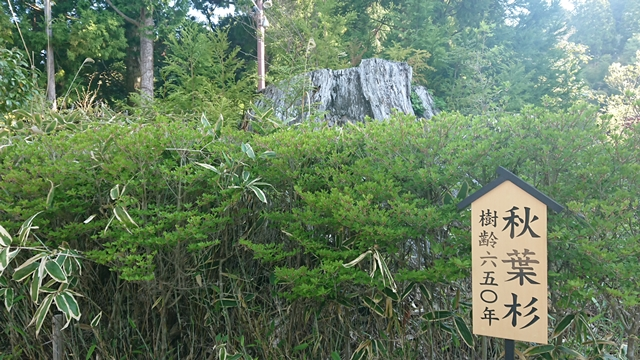 秋葉山本宮秋葉神社(上社)秋葉杉